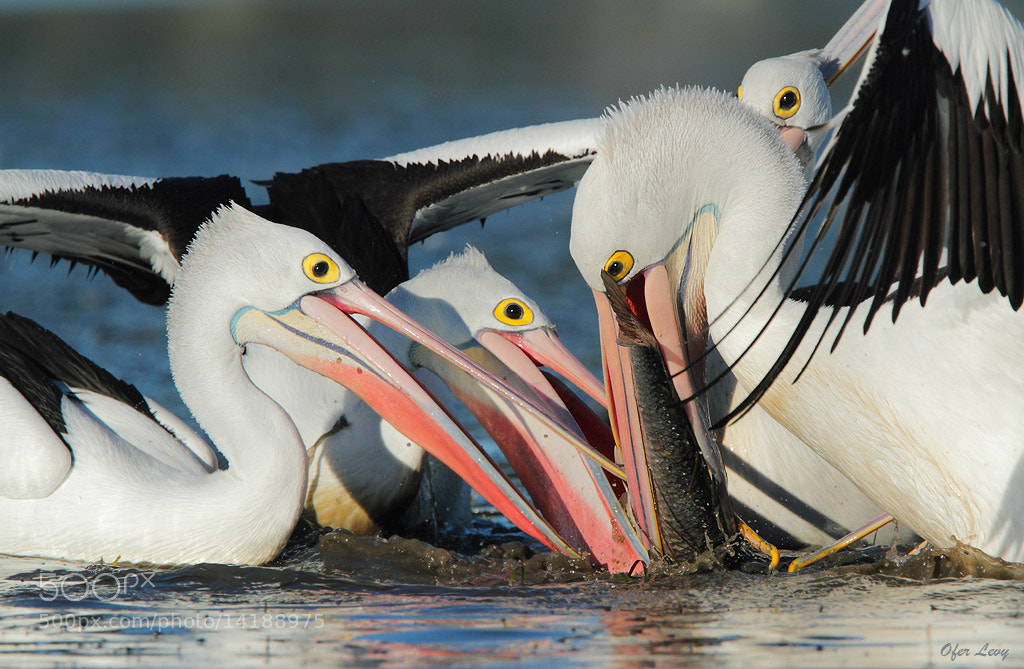 Photograph Feeding Frenzy by Ofer Levy on 500px