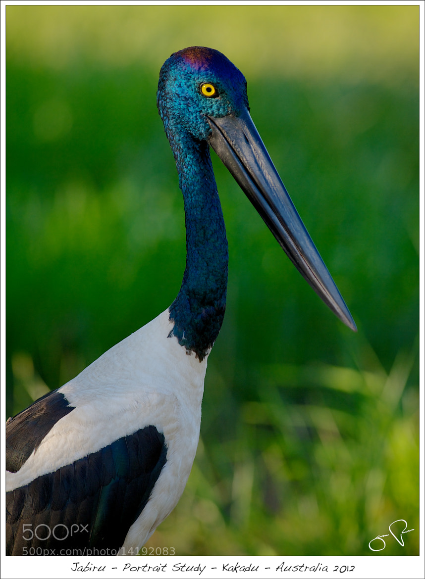 Photograph Jabiru by Jens Rudnick on 500px