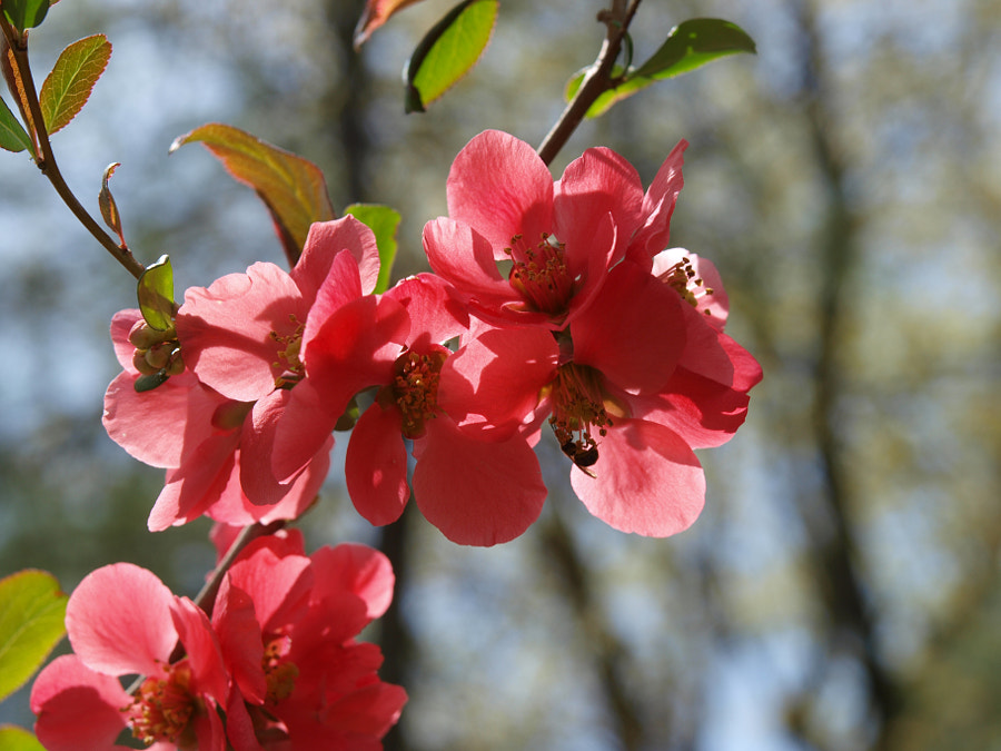 Flowering Quince by John Poltrack on 500px.com