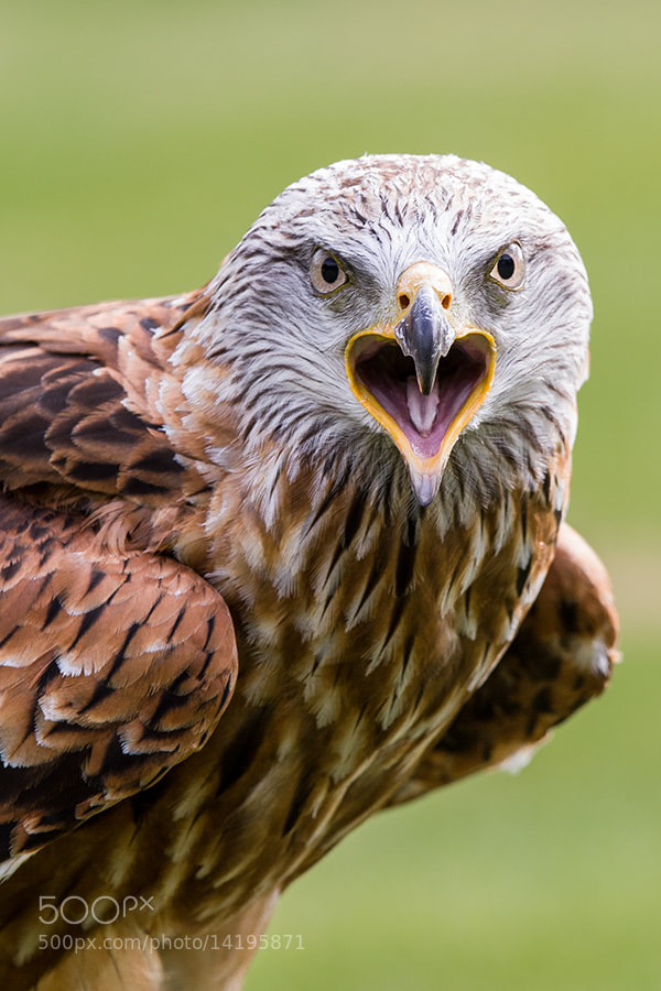 Photograph Black Kite by Wolfgang Voigt on 500px