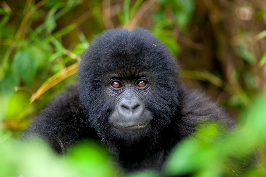 Photograph Mountain Gorilla 01 by catman / www.suhaderbent.com on 500px