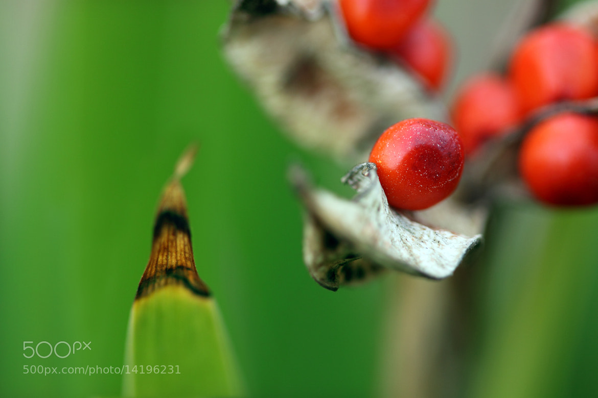 Photograph Iris foetidissima by Nemoral  on 500px
