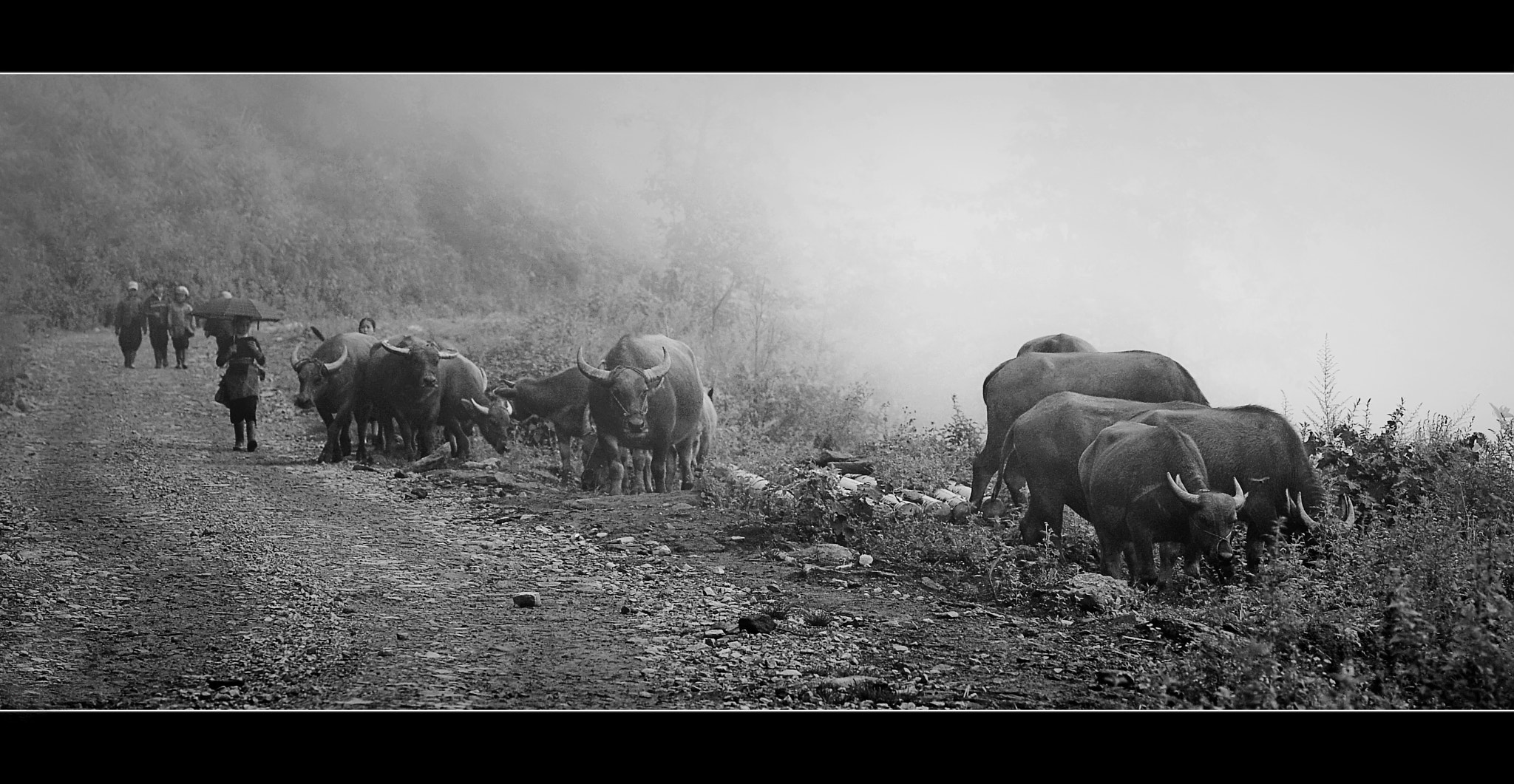 Photograph Buffalo in Lao Cai by Vu Le on 500px