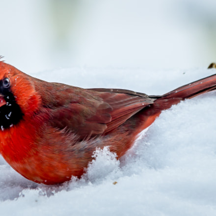 Angry Bird... bathing in the Snow.