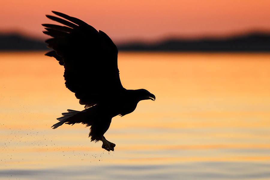 Photograph Sunset Eagle by Ben Page on 500px