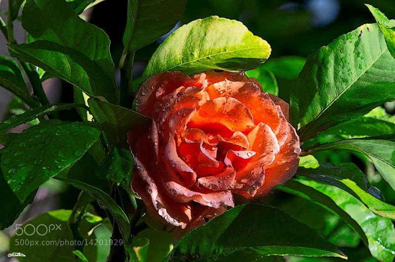 Photograph The pink rose  by Israel Weiss on 500px
