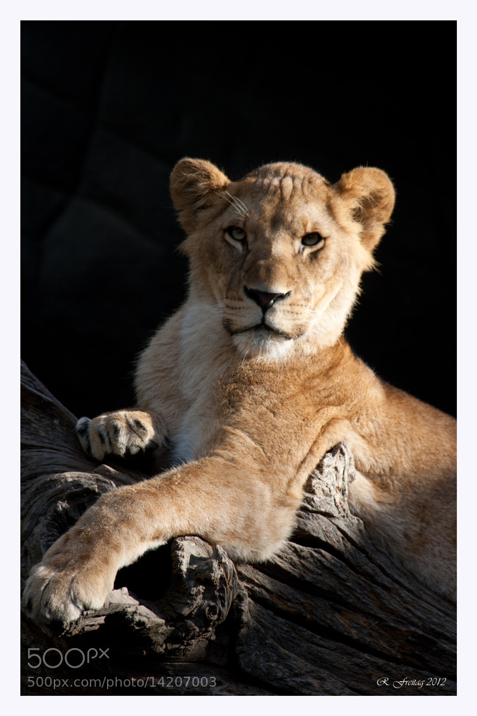 Photograph Lady lion by Regina F on 500px
