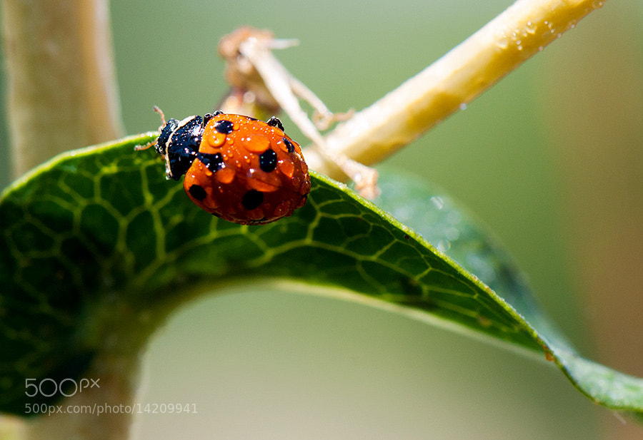 Photograph Wet lady(bug) by MARIAN Gabriel Constantin on 500px