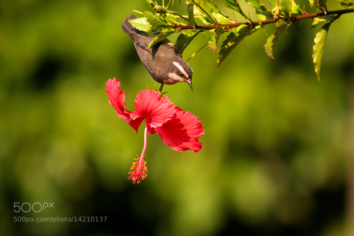 Photograph Hibiscus and bird by Daniel Lavenere on 500px
