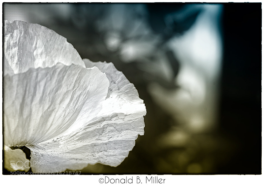 Photograph White Poppy by Donald Miller on 500px