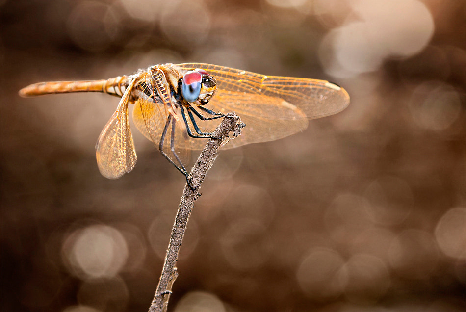 Photograph Dragonfly by Sayed Abd Algalil on 500px