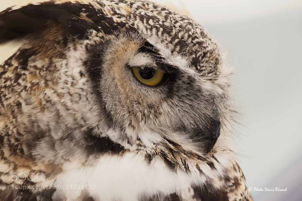 Photograph Great Horned Owl by Denis Rivard on 500px