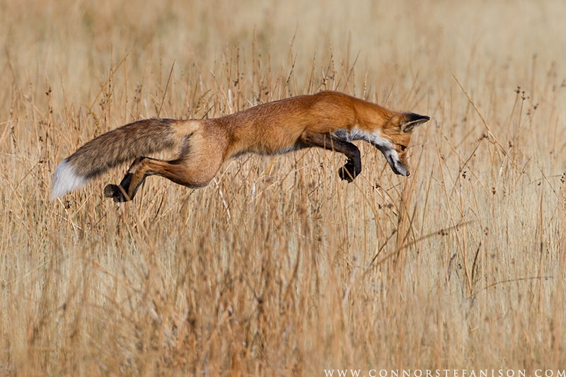 Photograph The Pounce  by Connor Stefanison on 500px