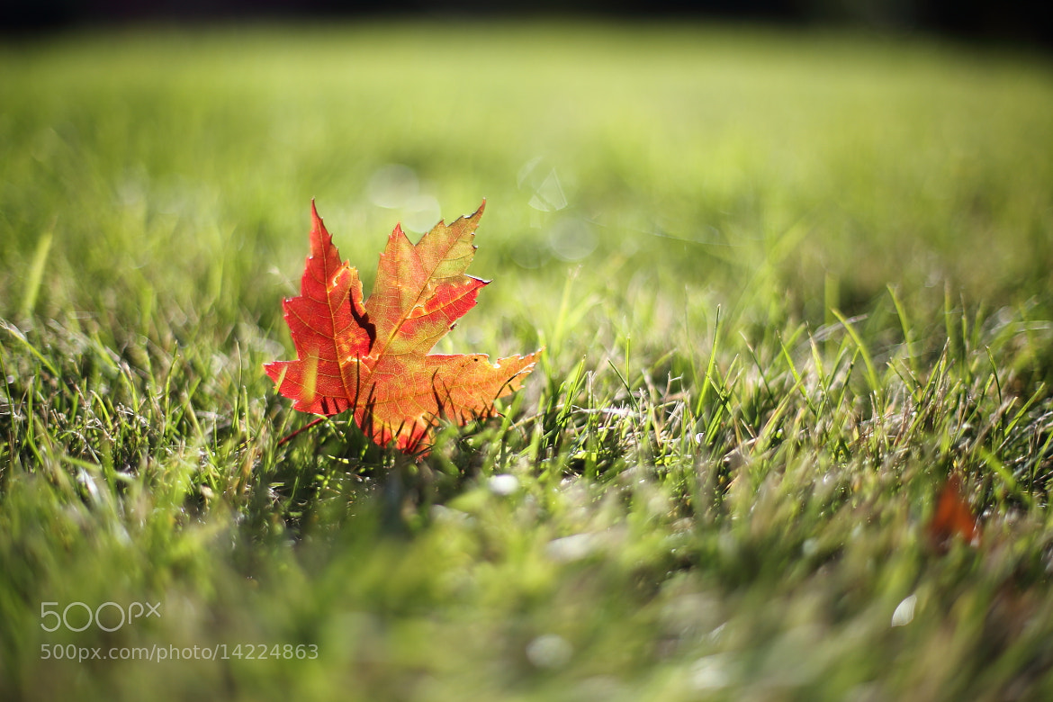 Photograph The red maple leaf by Minchang Zhang on 500px
