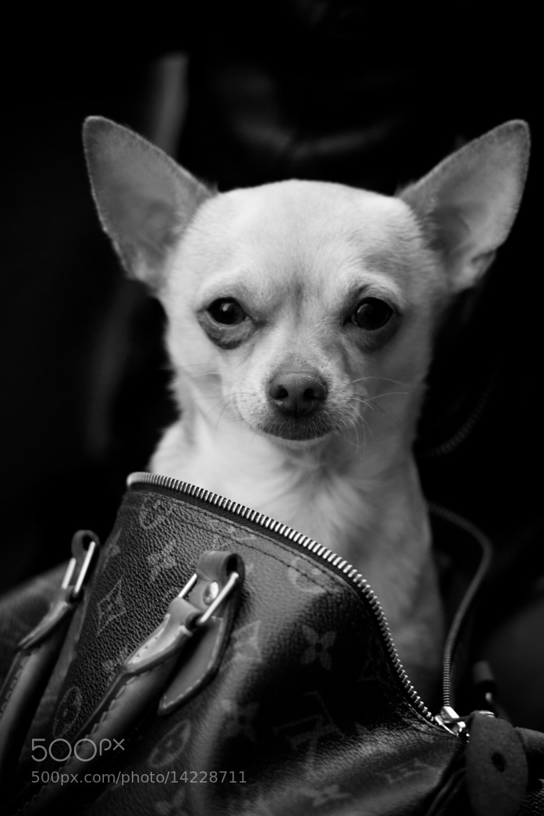 Photograph the very important chihuahua (V.I.C.) by laurent aublé on 500px