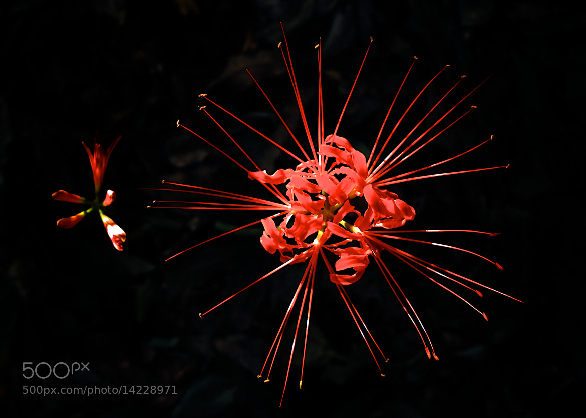 Photograph Lycoris radiata by Jeong-Keun Kim on 500px