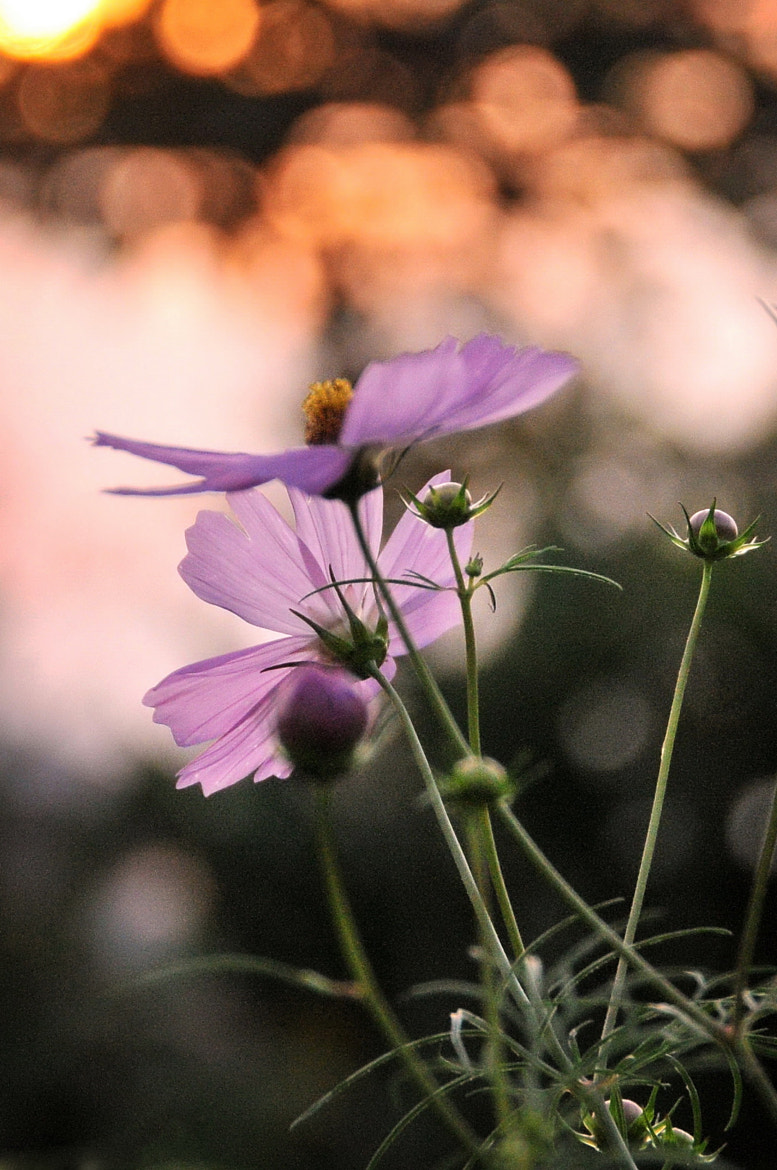 Photograph ★ Cosmos of the evening -2 by KEN OHSAWA on 500px