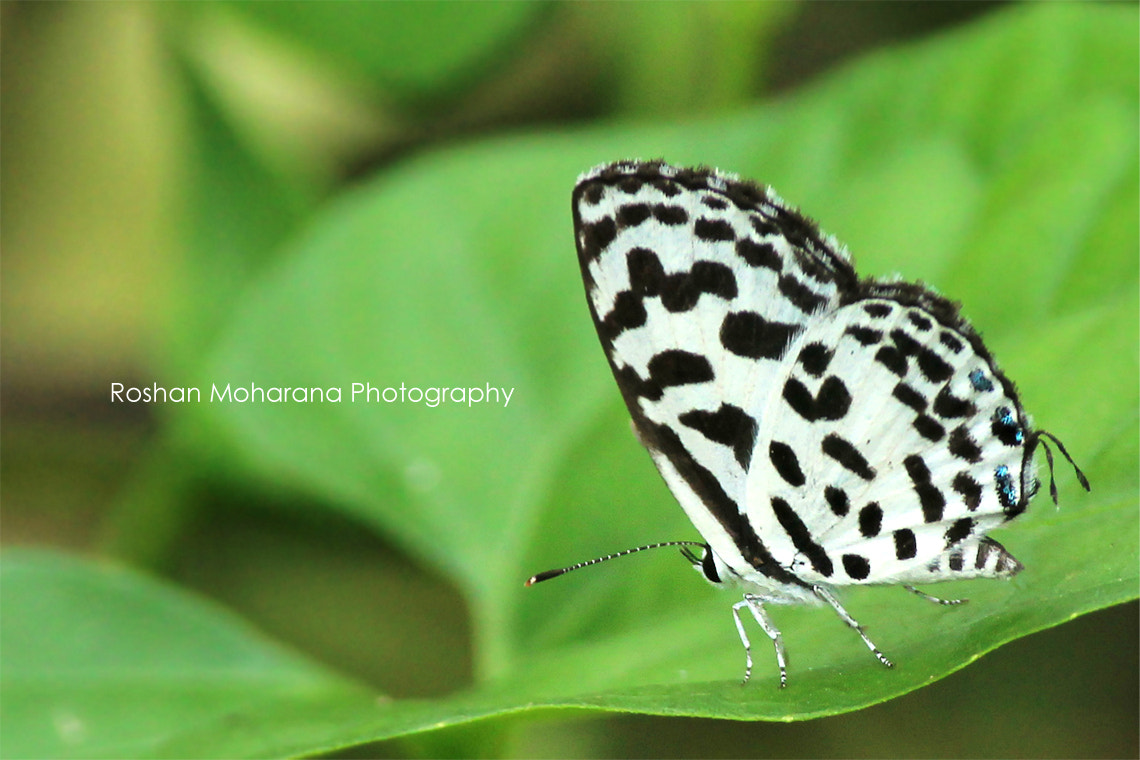 Photograph Butterfly by Roshan Moharana on 500px