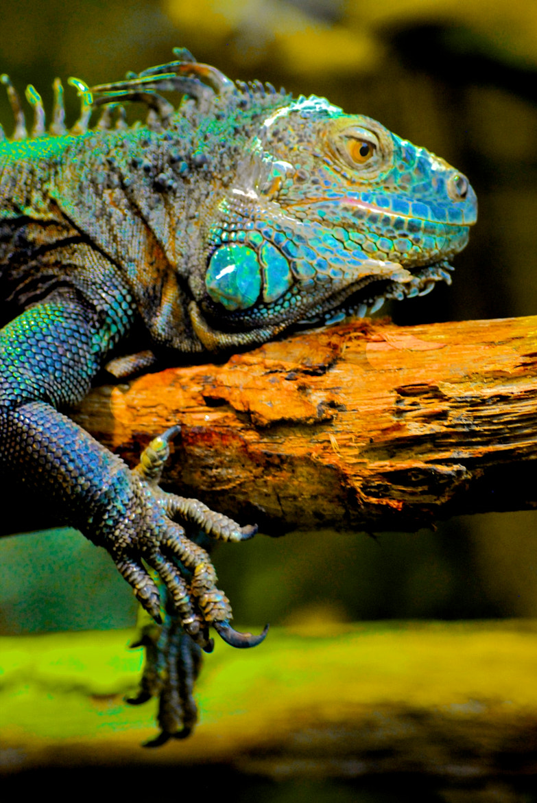 Photograph Iguane by Jules Calop on 500px