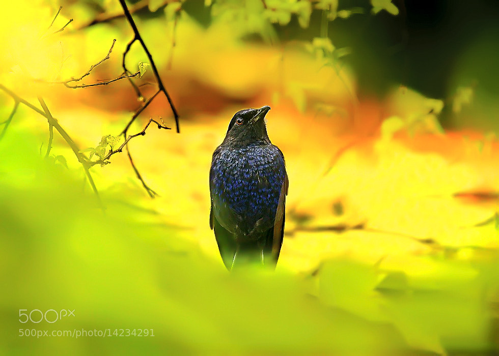 Photograph Formosan Whistling Thrush by Dajan Chiou on 500px
