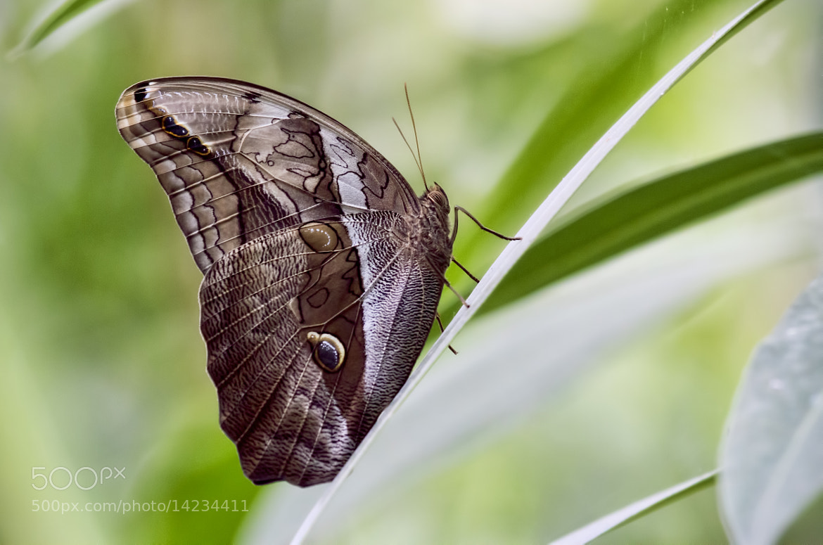 Photograph One-spotted Prepona by Wim Bolsens on 500px