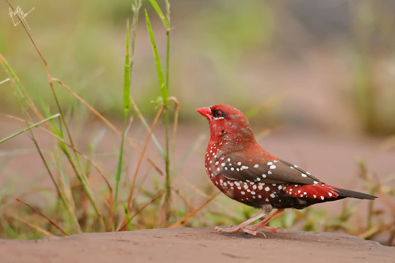 Photograph Strawberry Finch by Parth Jha on 500px