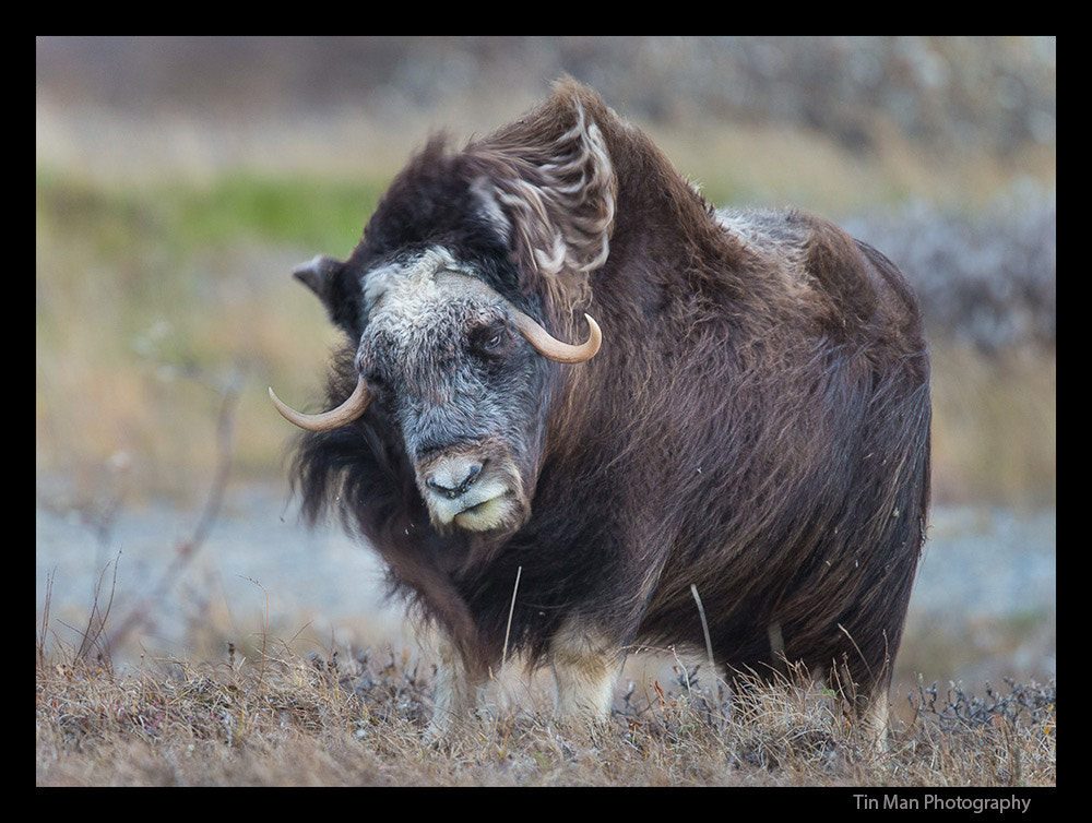Photograph Musk Ox in the Wind by Tin Man on 500px