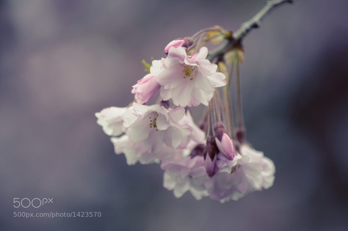 Photograph Weeping Cherry by Spring Disney on 500px