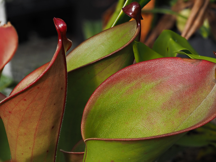 Pitcher Plant by John Poltrack on 500px.com