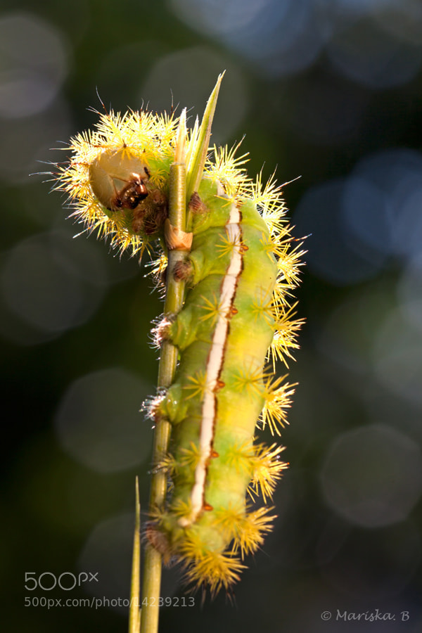 Photograph Automeris iris by Mariska Boertjens on 500px