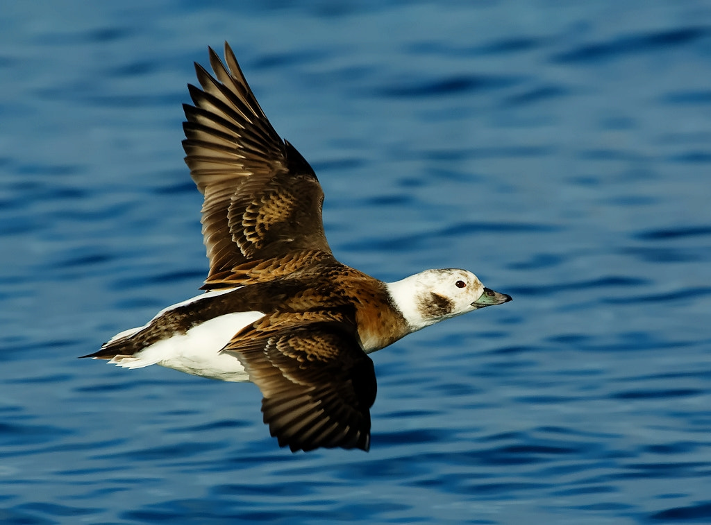 Photograph Long-tailed duck-female by Joe Iocco on 500px