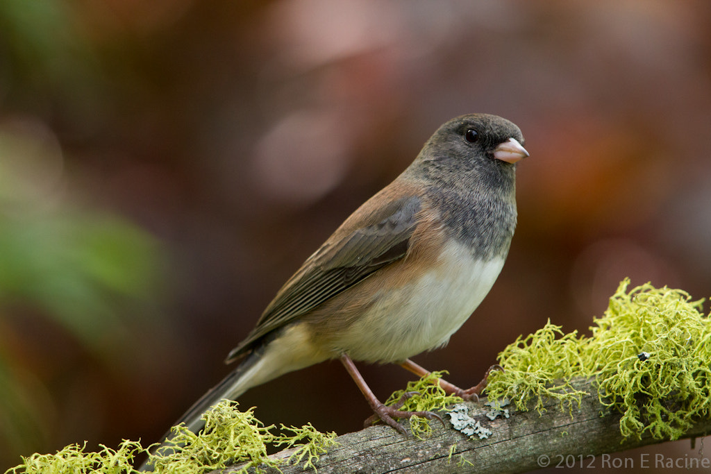 Photograph Dark-Eyed Junco by Ron E Racine on 500px