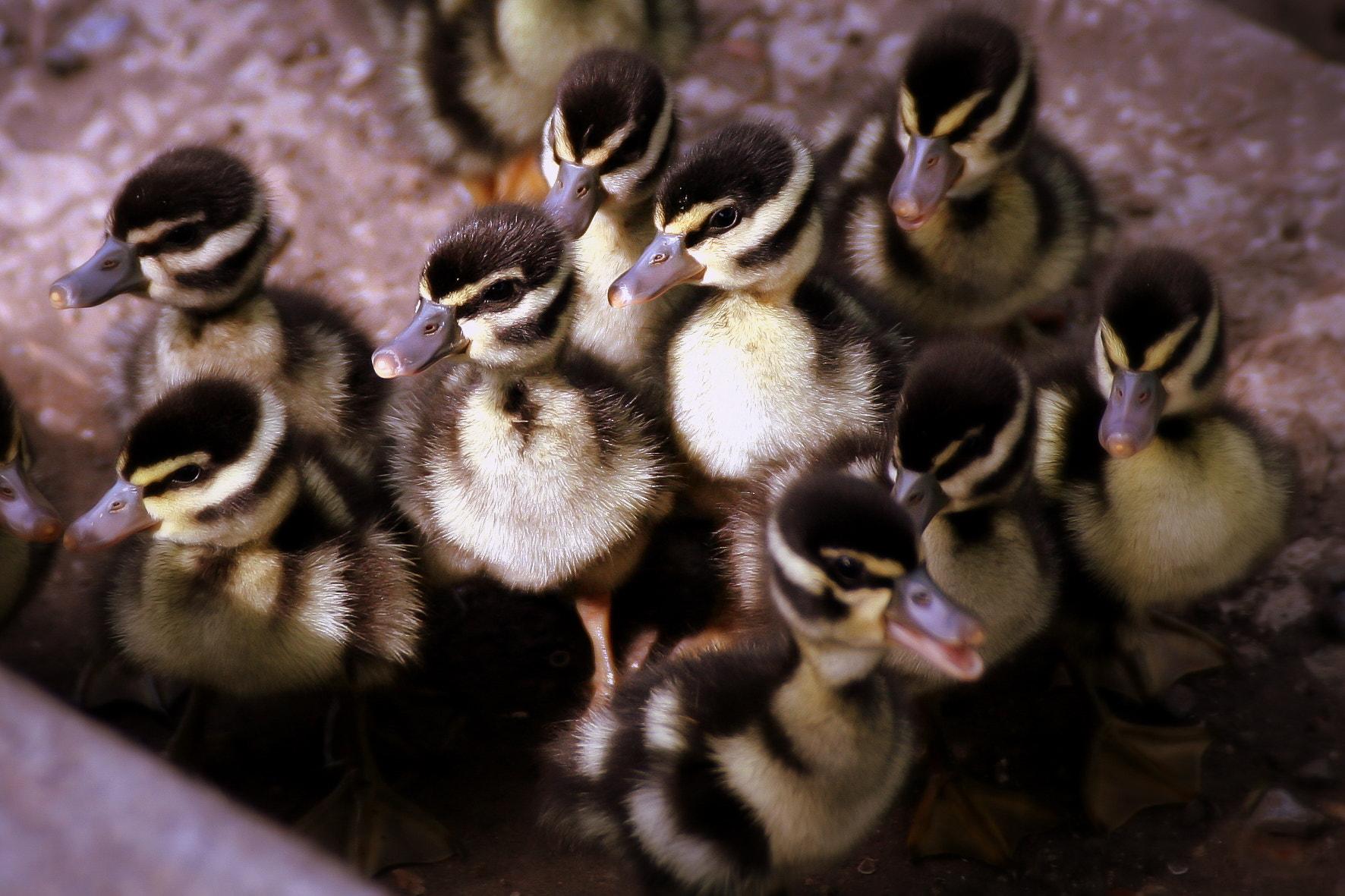 Photograph Baby Ducks by Kenny Salazar on 500px