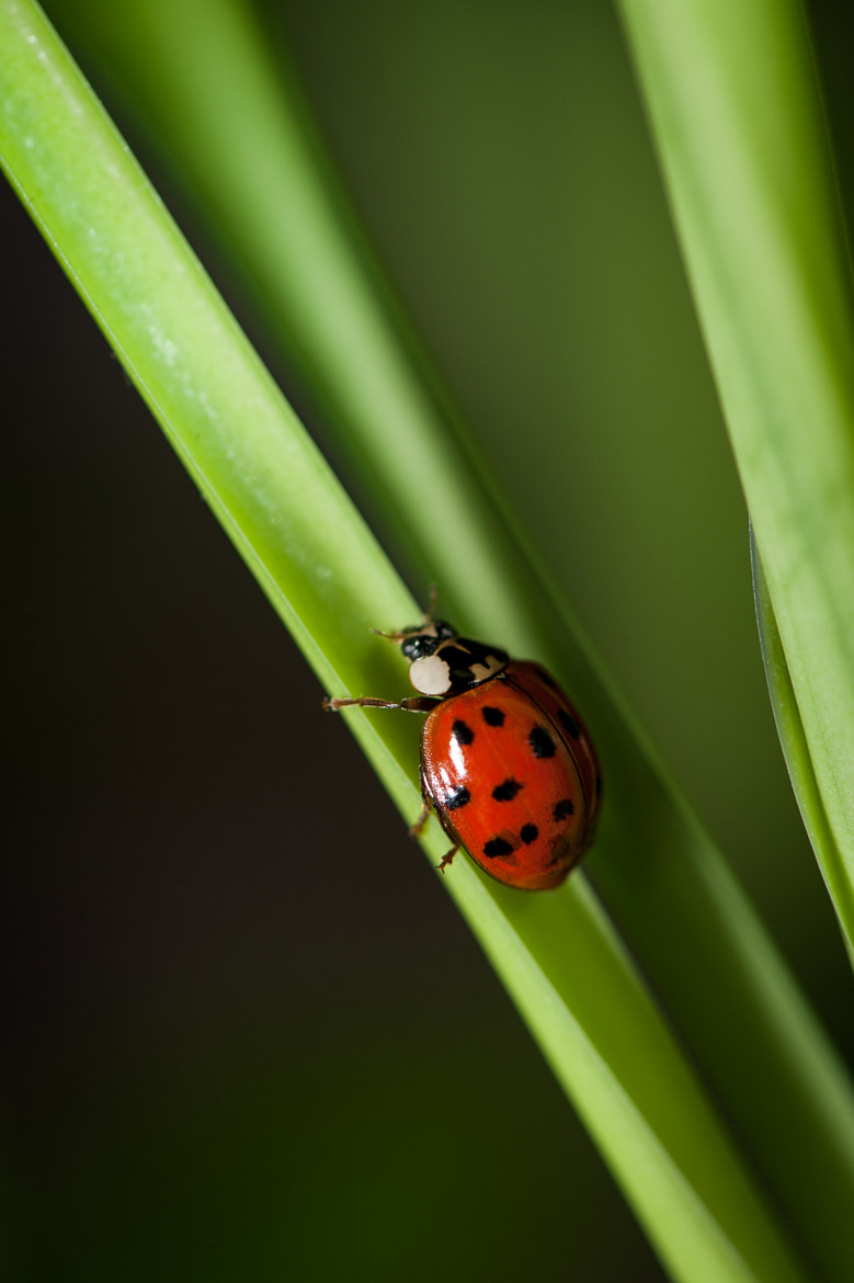 Photograph Climbing Ladybug by Justin Lo on 500px