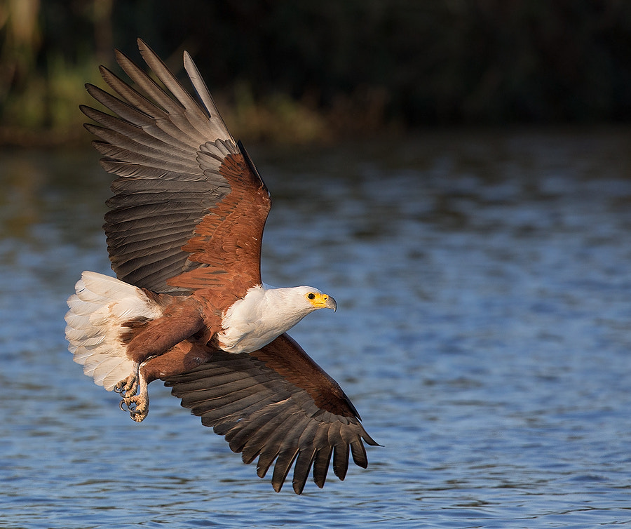 Photograph Flight of the Fish Eagle by Francois Retief on 500px