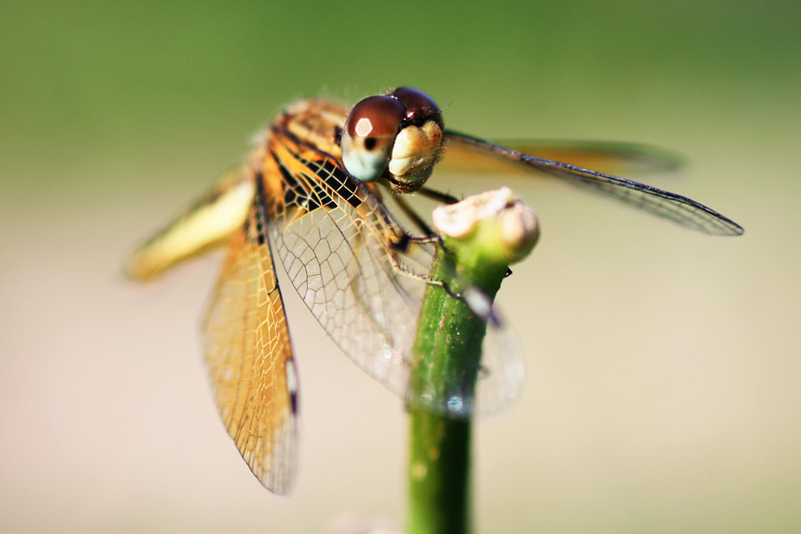 Photograph dragon fly by Siriwat Wongchana on 500px