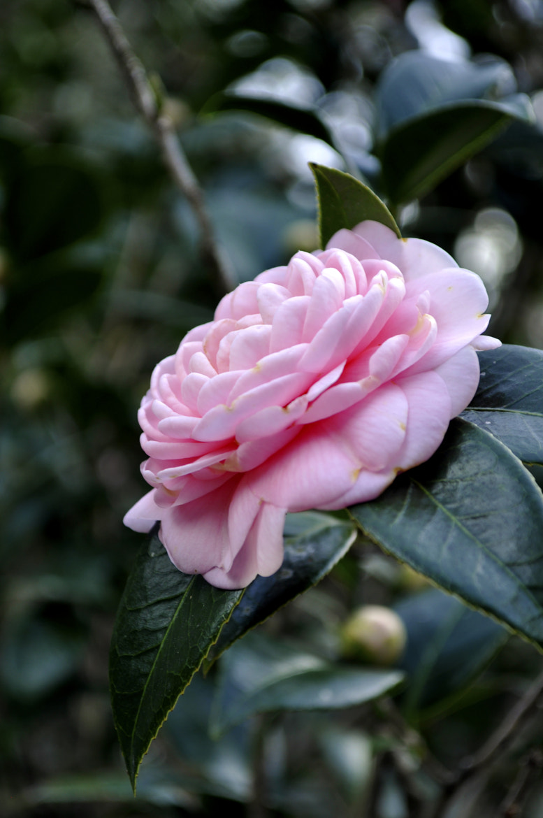 Photograph Camellia Flower by Sean Murray on 500px
