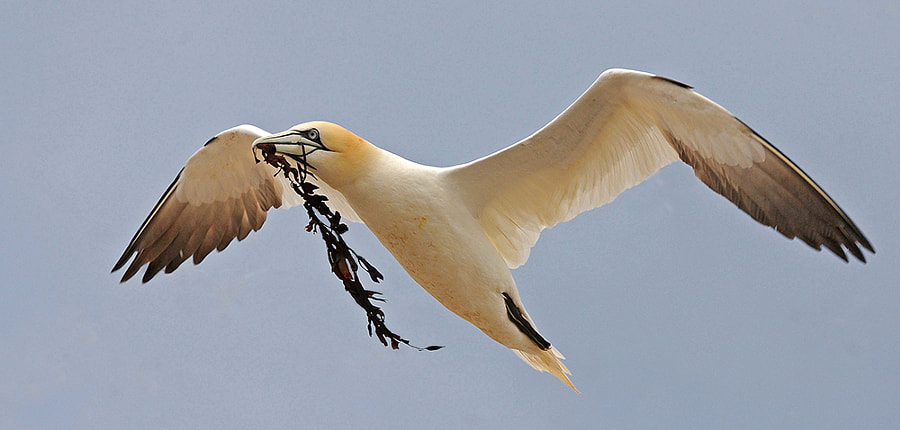 Gannet with sea weed by Ronald Coulter on 500px.com