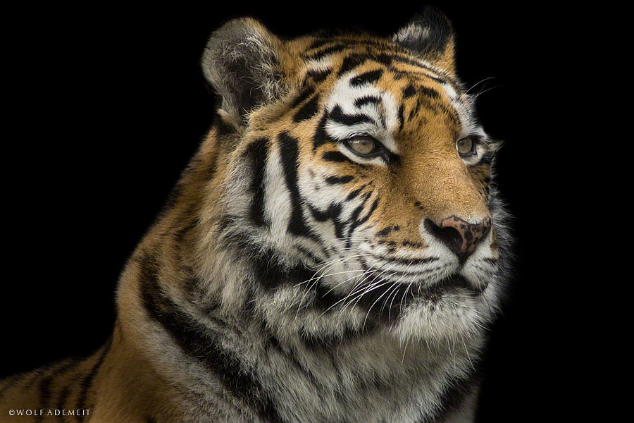 tigress portrait by Wolf Ademeit on 500px.com