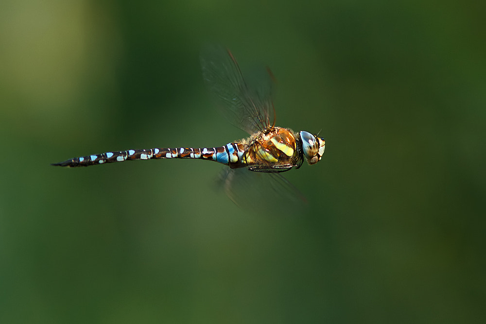 Photograph Migrant hawker by Tom  Kruissink on 500px
