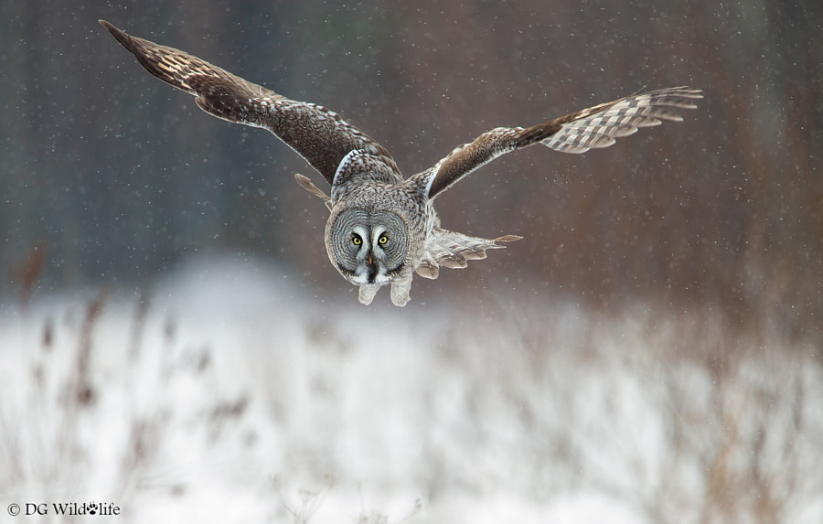 Great Grey Owl by Giedrius Stakauskas on 500px.com