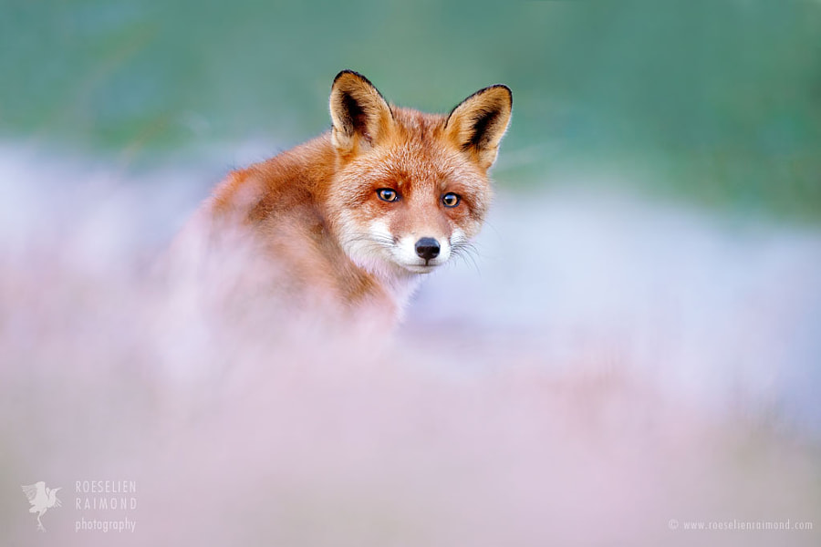 That Foxy Look by Roeselien Raimond on 500px.com