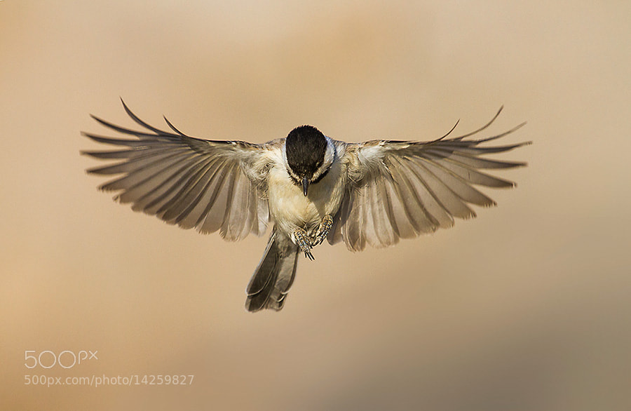 Photograph  Somber Tit  by Asghar Mohammadi Nasrabadi on 500px
