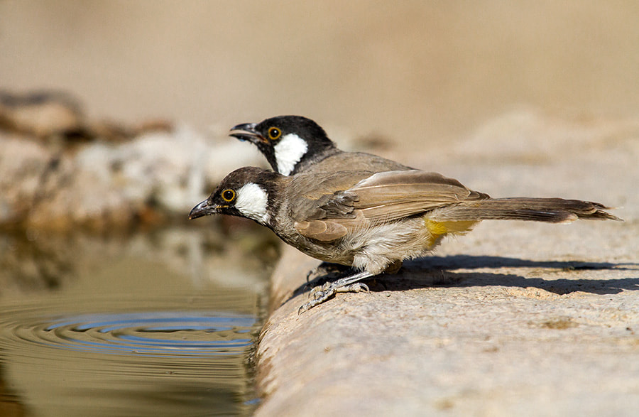 Photograph White-eared Bulbul by Asghar Mohammadi Nasrabadi on 500px