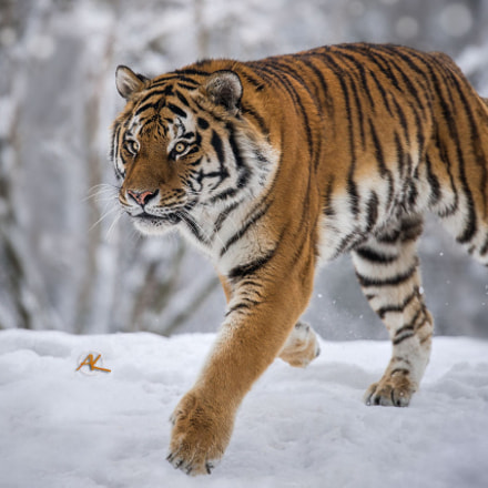 Tiger Snow Run, Sony SLT-A99V, Sony 500mm F4 G SSM (SAL500F40G)
