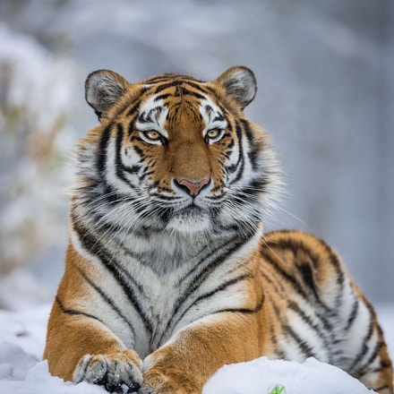 Tiger relaxing in Snow, Sony SLT-A99V, Sony 500mm F4 G SSM (SAL500F40G)