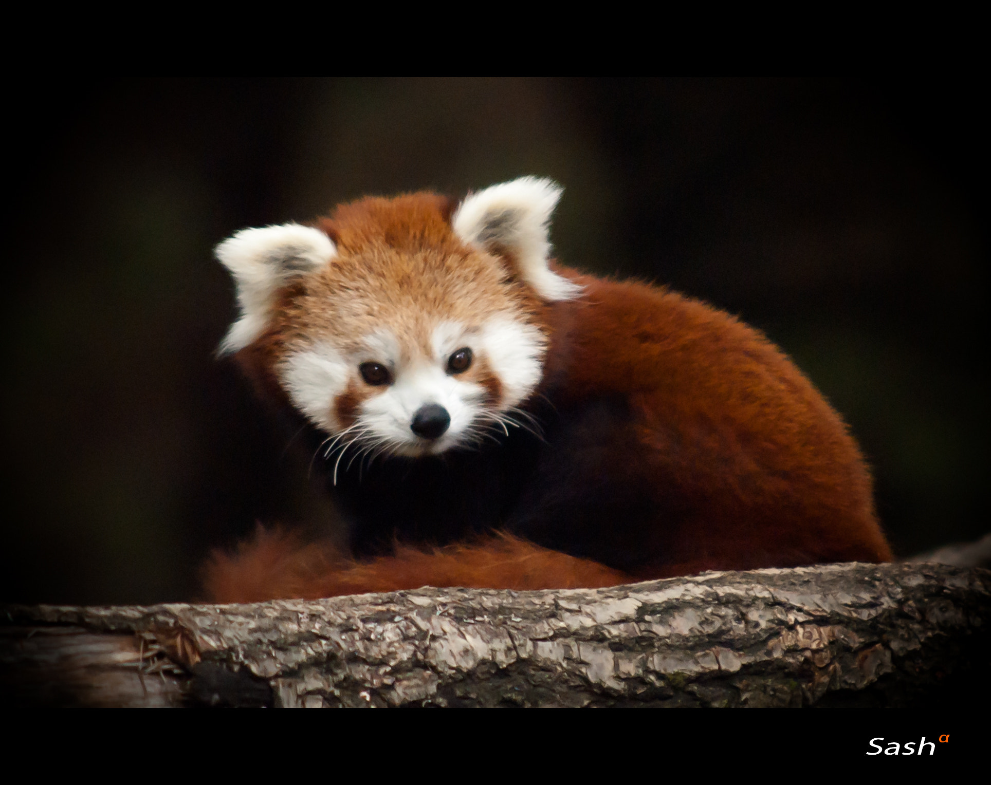 Photograph Red panda  by Sasa Bremec on 500px