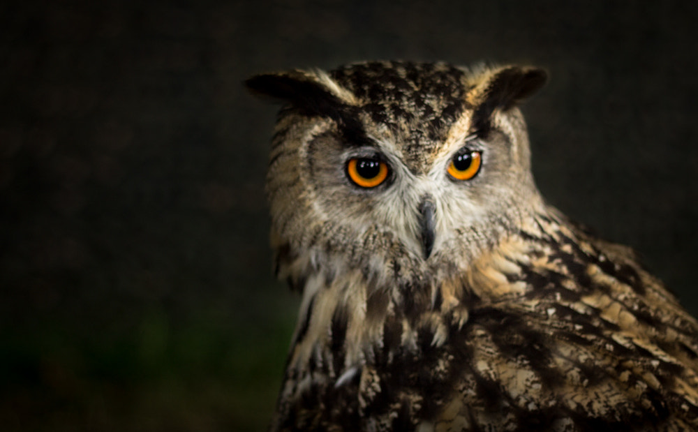 Photograph Eagle Owl by Brian Shore on 500px