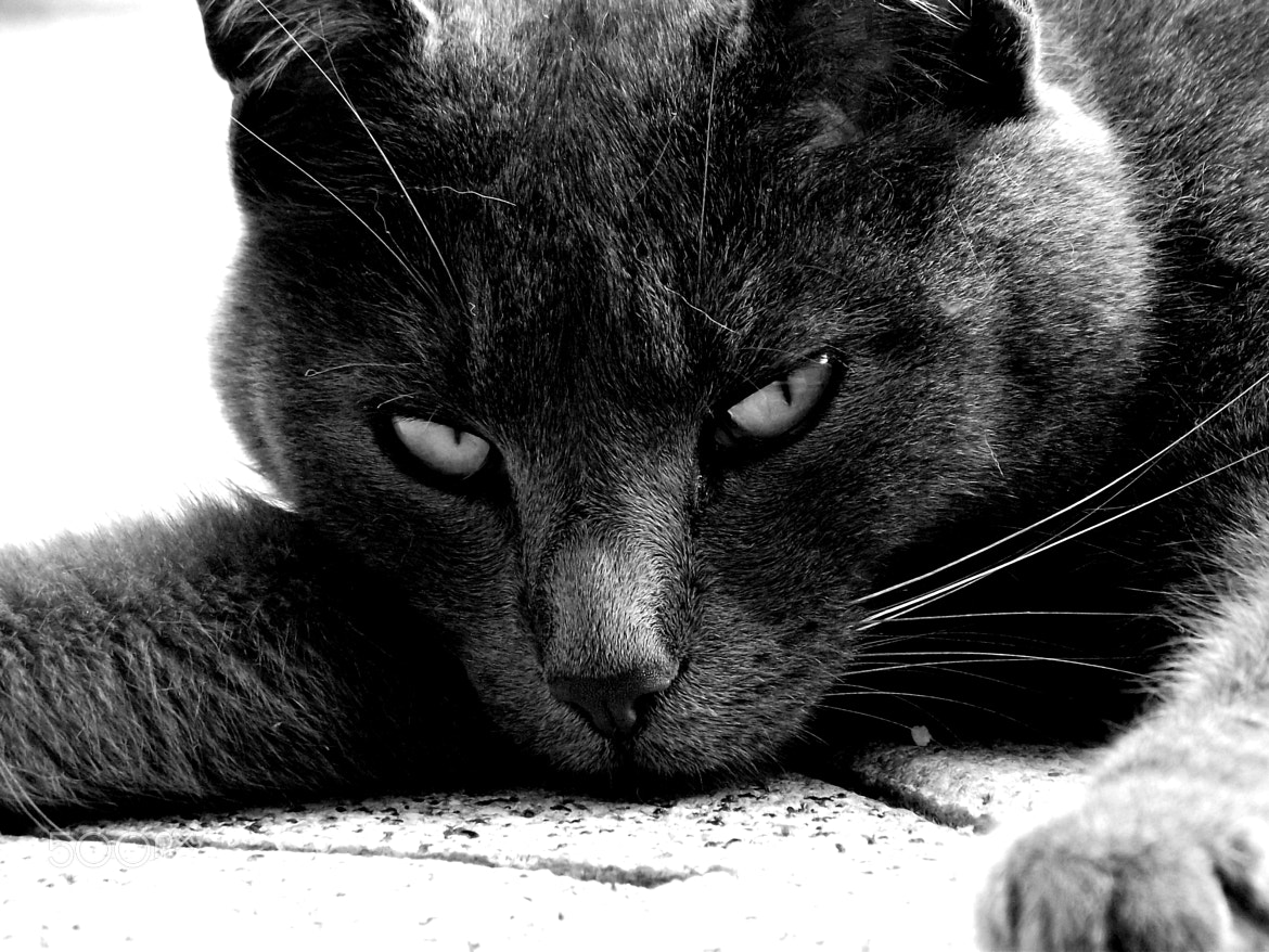 Photograph Grey Cat by Marcel Vögele on 500px