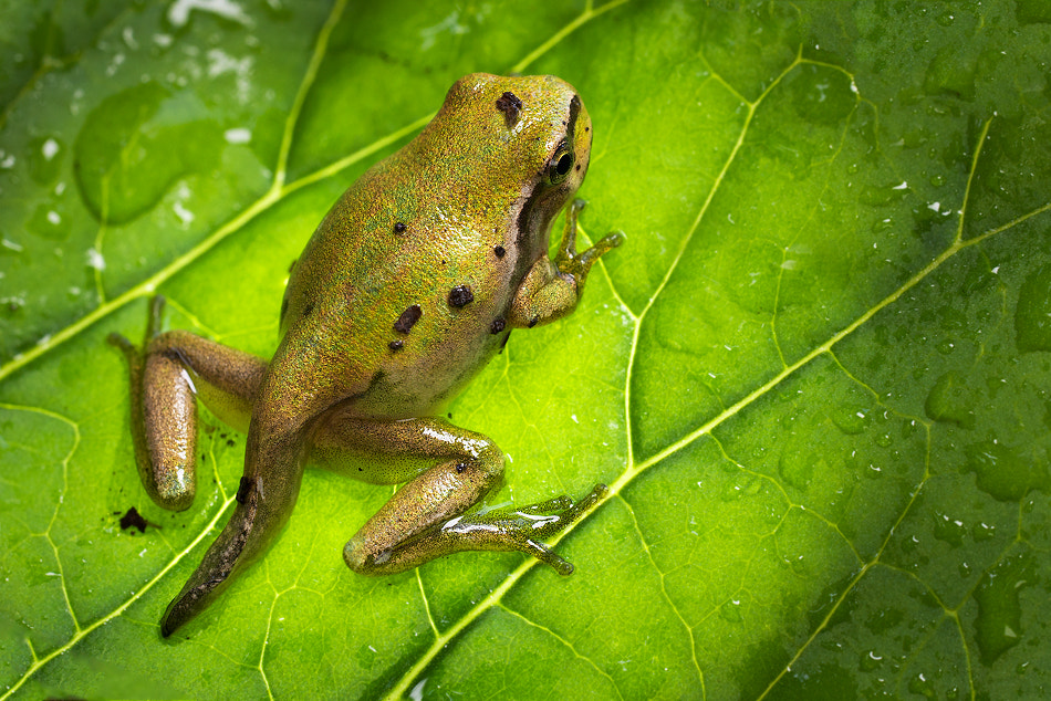 Photograph The little Hyla by Alberto Di Donato on 500px